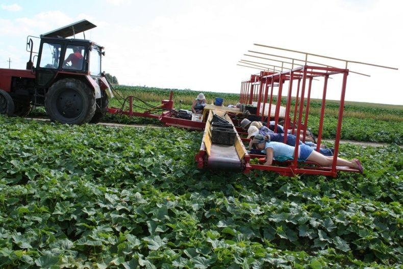 people pick up cucumbers in Belarus 8