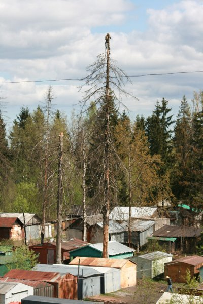 cuttings trees in Russia 1