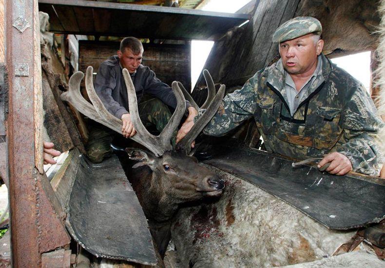 Russian deers