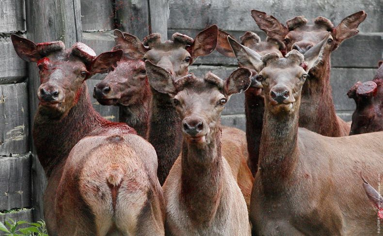 Russian deers 4