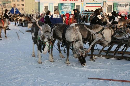 Russian deer racing 19