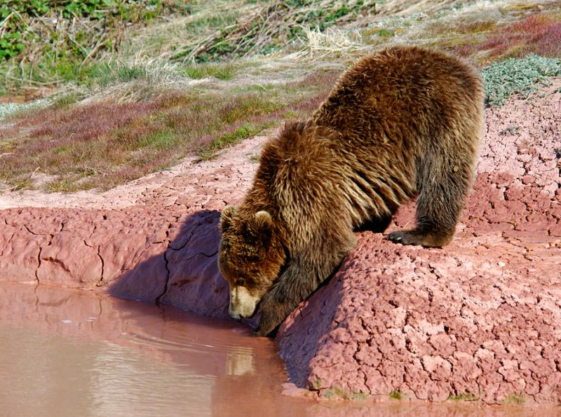 Do Bears Scorch Paws in the Valley of Geysers? 11