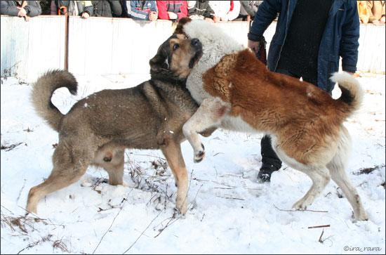 russian dog fight 5
