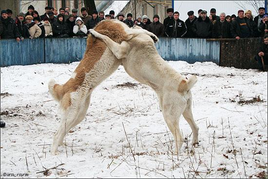 russian dog fight 6