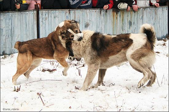 russian dog fight 7
