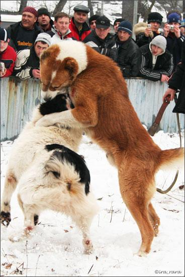 russian dog fight 8