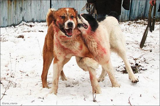 russian dog fight 9