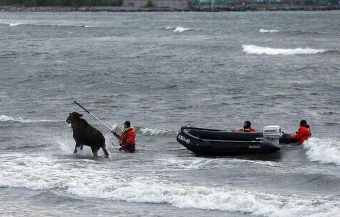 Elk Rescue In Estonia 18