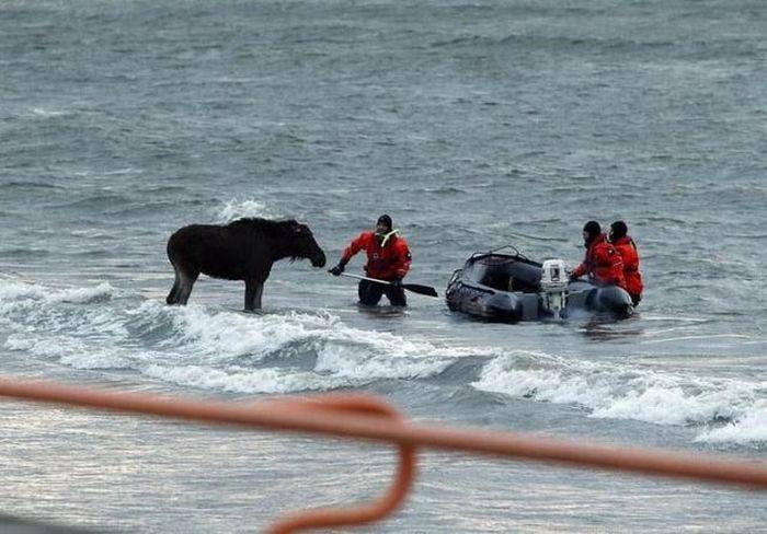 Elk Rescue In Estonia 19
