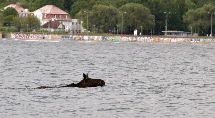 Elk Rescue In Estonia 5