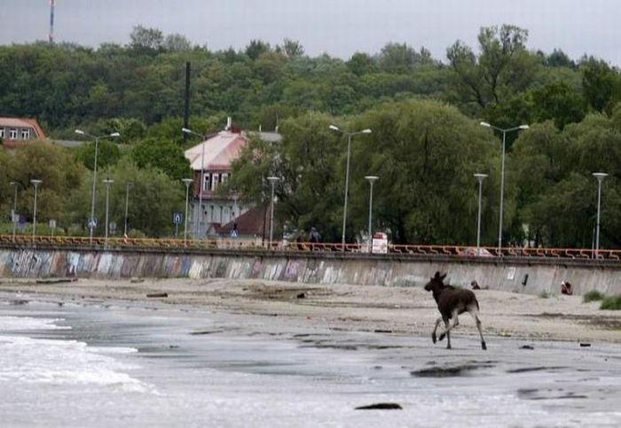 Elk Rescue In Estonia 7