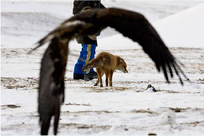 Hunting with falcons in Kazakhstan, Russia 10
