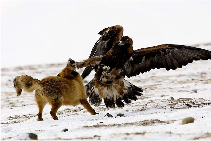 Hunting with falcons in Kazakhstan, Russia 11