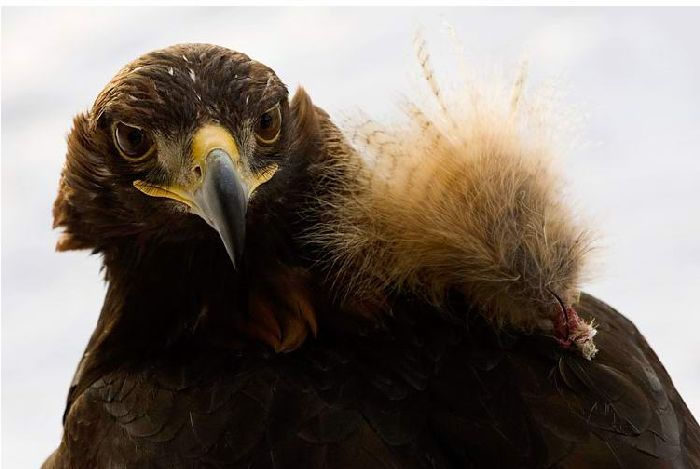 Hunting with falcons in Kazakhstan, Russia 2