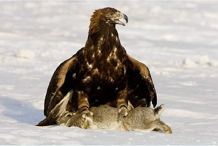 Hunting with falcons in Kazakhstan, Russia 8