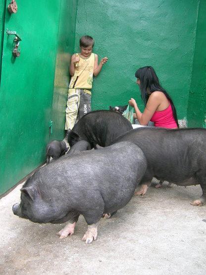 vietnamese pigs in Russian zoo 2