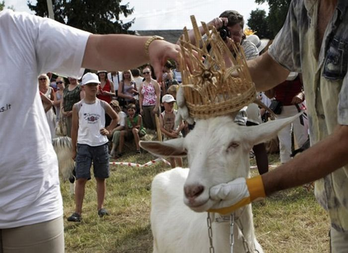 Goats Beauty Contest 1