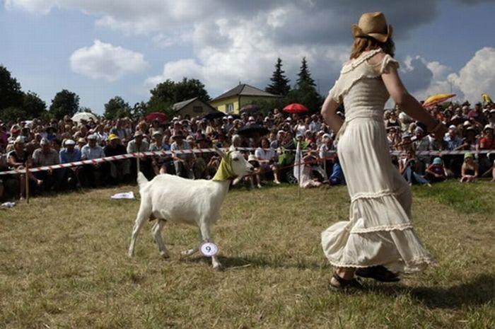 Goats Beauty Contest 3