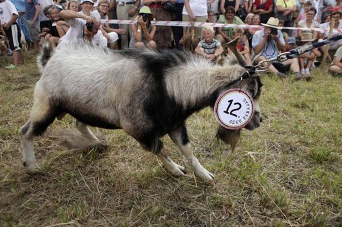 Goats Beauty Contest 4