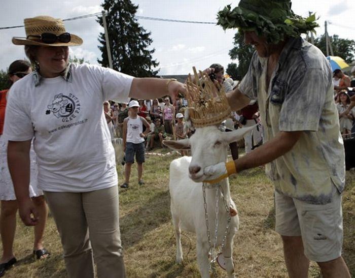 Goats Beauty Contest 6