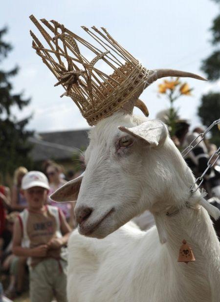 Goats Beauty Contest 7