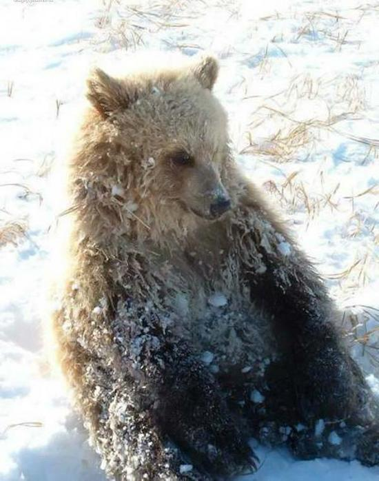 russian bears 6