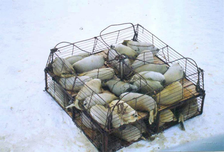 Seals clubbed in Russia 4