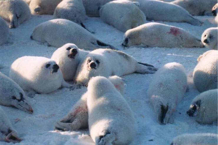 Seals clubbed in Russia 6