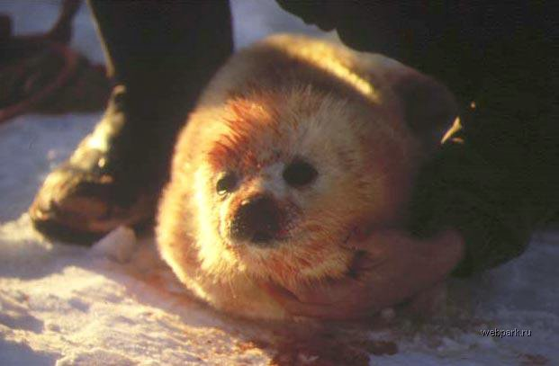 Seals clubbed in Russia 7