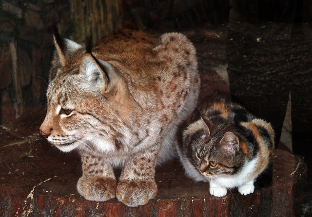 Russian cat and Russian lynx in zoo, St. Petersburg, Russia 2