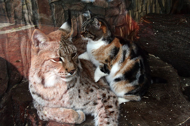 Russian cat and Russian lynx in zoo, St. Petersburg, Russia 3