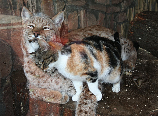 Russian cat and Russian lynx in zoo, St. Petersburg, Russia 4