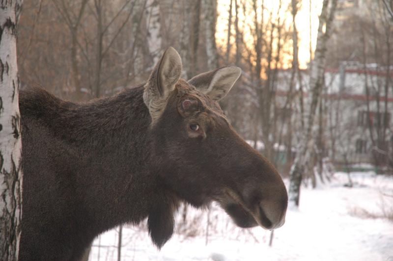 elk in Russia