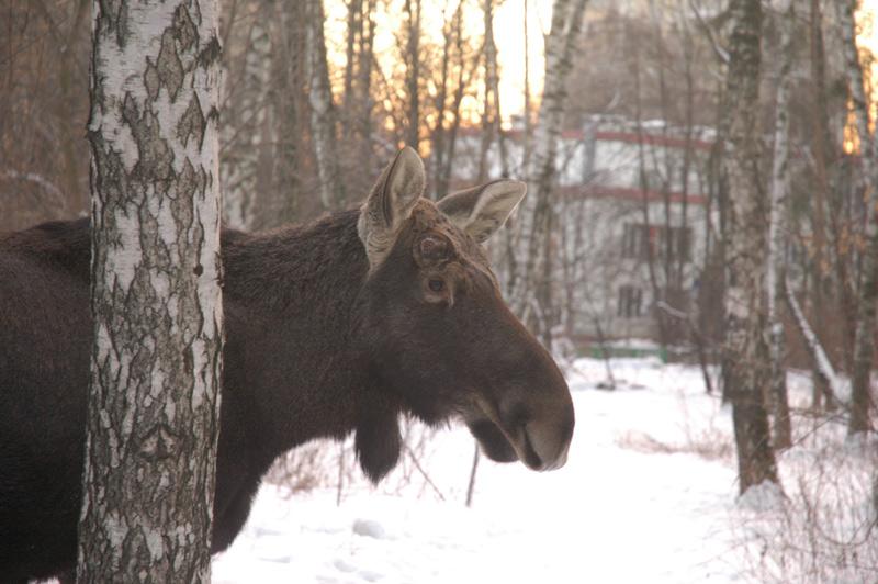 elk in Russia 2