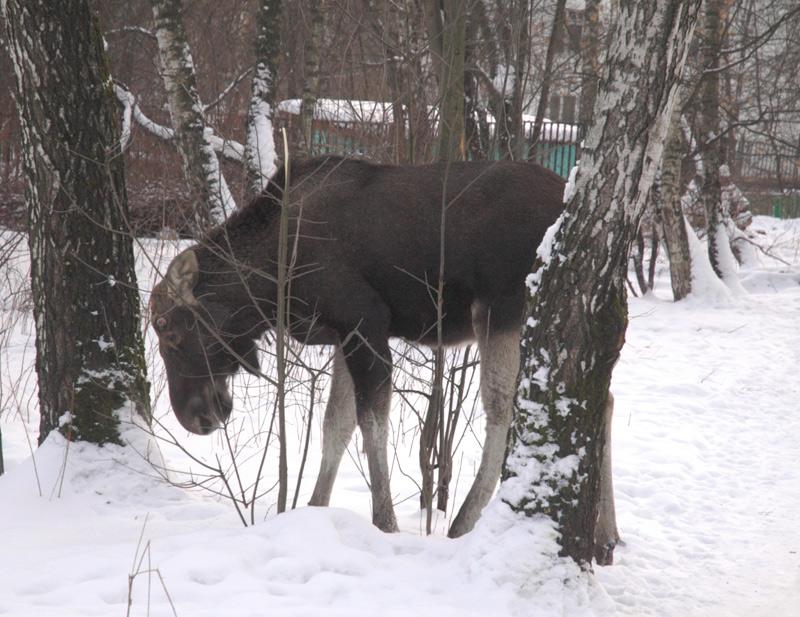 elk in Russia 4