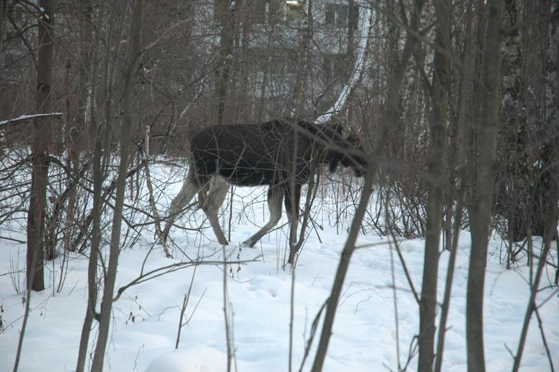 elk in Russia 7