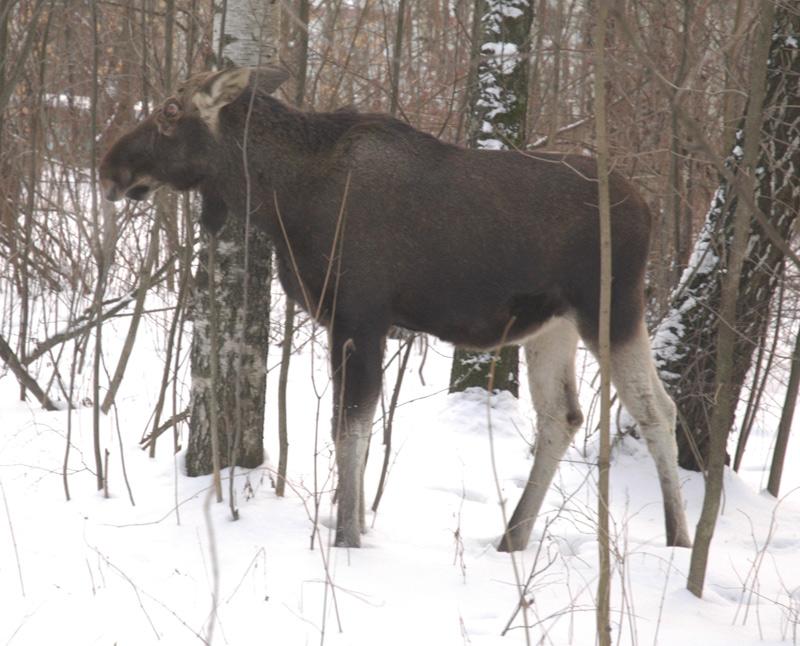 elk in Russia 8