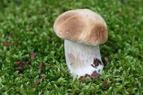 Mushrooms_in_Russia 24