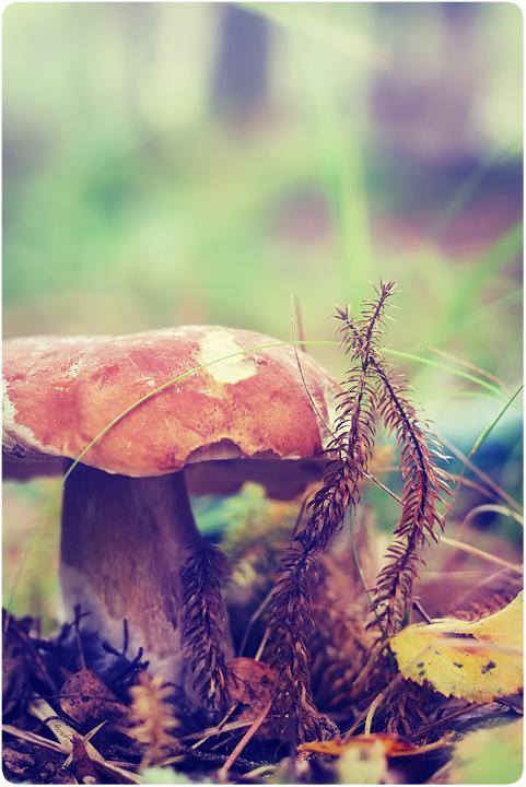 Mushrooms_in_Russia 34