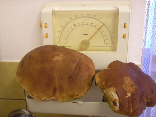 Mushrooms_in_Russia 5
