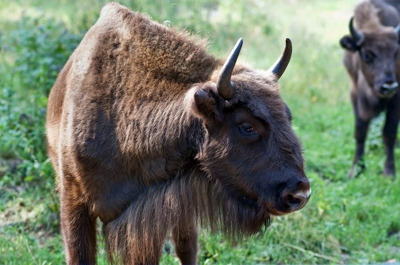 A Trip To Aurochs