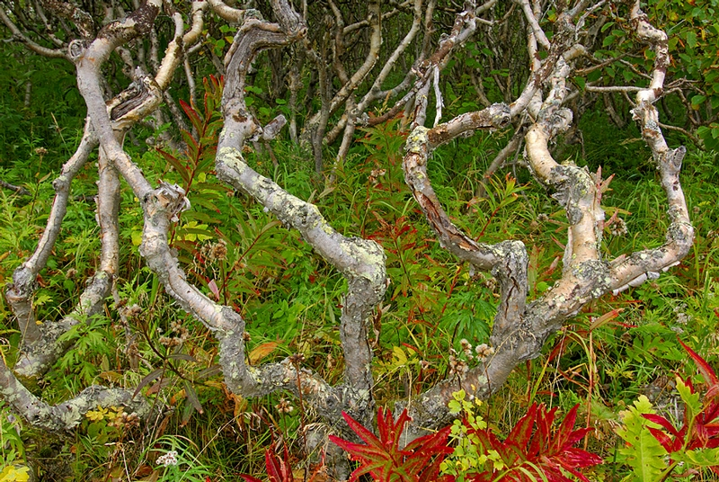Ancient Stone Birches