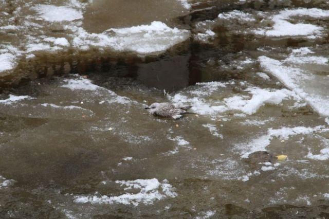 Saving a Seagull Bird Frozen Into an Ice