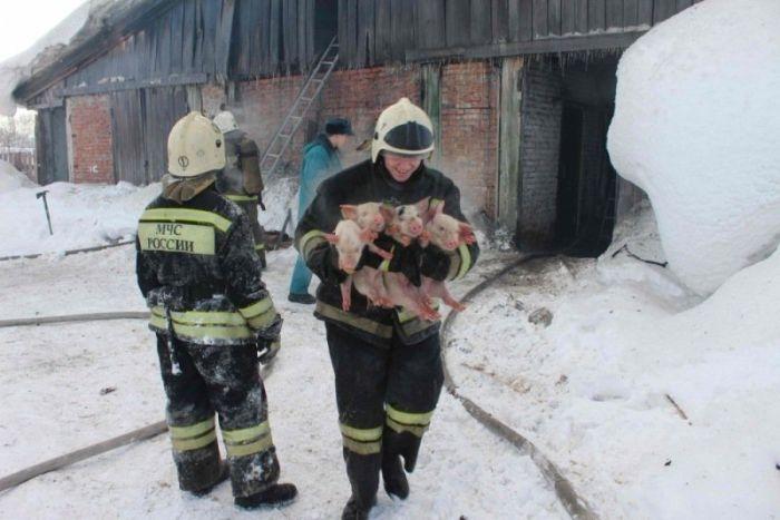 Russian Firemen Saved Over 100 Little Piglets from Fire