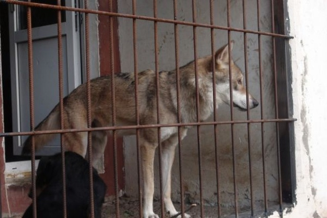 Man from Volgograd Lives with a Wolf in a Small Apartment