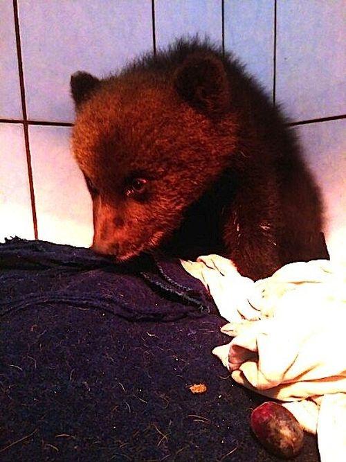 A Baby Bear Was Rescued in Leningrad Region [photos]
