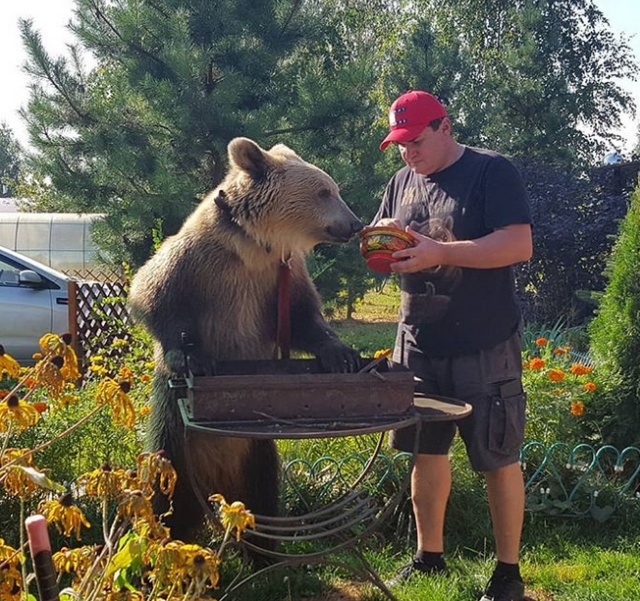 Russian Bear Stepan the Hero of Photo Sessions