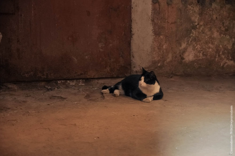 Cats of Hermitage