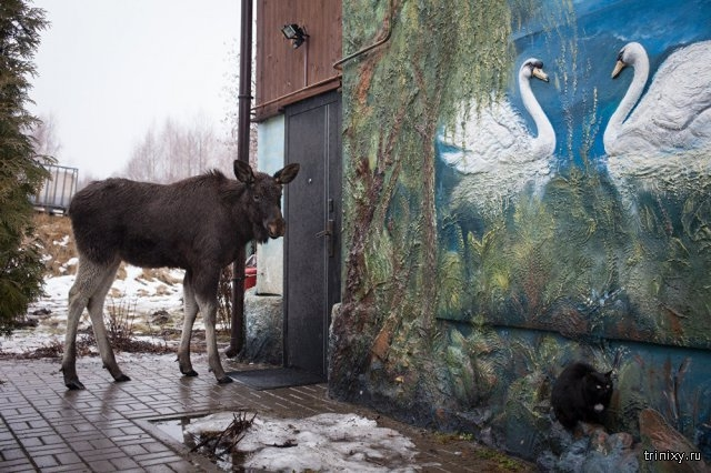 Woman Has a Moose as a Pet Grisha: He Plays with Dogs, Eats Bread and Likes His Owner
