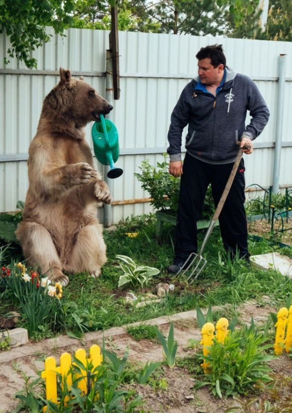 Stepan Bear Lives in Family Eats 25 Kg of Food Daily [7 photo]